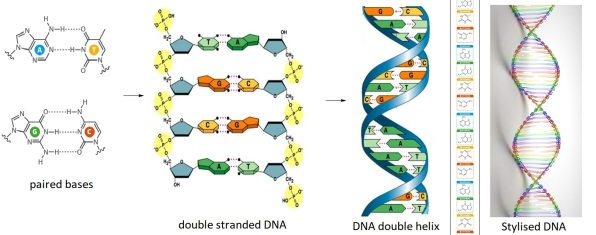 dna_base pairing composite