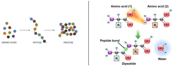 protein from amino acids composite